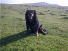 Jasper on Dartmoor