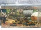 Hillstream loach tank
