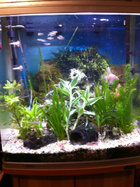 Angel fishtank before, (Larger pic)