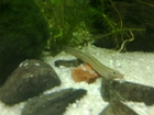 My second weather loach