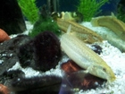 My lovely loaches