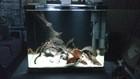 Apisto Panduro Breeding Tank