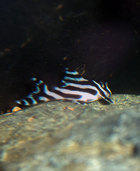 Zebra Plec