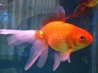 My new goldfish