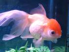 Another goldfish