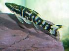 Zebra Oto