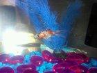 ''Jaws'' the Goldfish