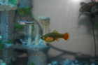 Female platy variatus and wcmm