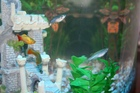 Platy and Zebra Danios settling in