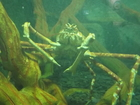 Chinese spider crab