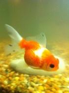 My Oranda Goldfish