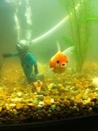 My Oranda Goldfish posing