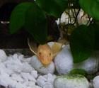Female Lemon