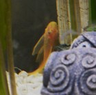 My Shy Male Lemon