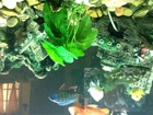 Assorted African Cichlids
