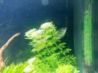 Indian Gourami  ( C...