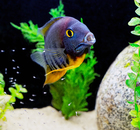 Male Rotkeil Severum with Fry