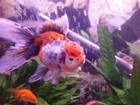 My beautiful Oranda, Pumpkin!!