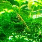 Neocaridina Shrimp