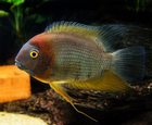Male Rotkeil Severum