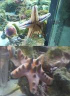 my new starfish....