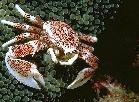 Anenome crab