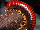 Madagascan fire millipede